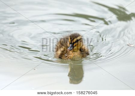 Very young duckling swimming alone, with ripples on water.