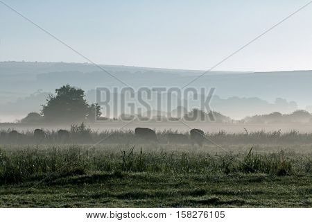 Misty morning looking towards South Downs with cows grazing in meadow.