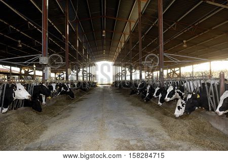 inside of a dairy cow farm to be black and white cows