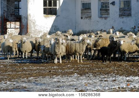 Sheeps grazing in a sheepyard on a bright sunny autumn day