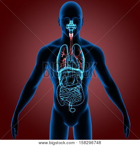 3D rendering Human Respiratory System Illustration system