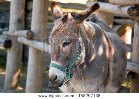 Sad donkey in snaffle on a farm closeup portrait.
