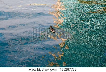 Small duck in lake water full of color reflections with ripples