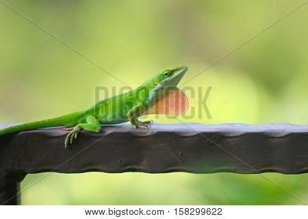Green anole lizard resting on a balcony rail