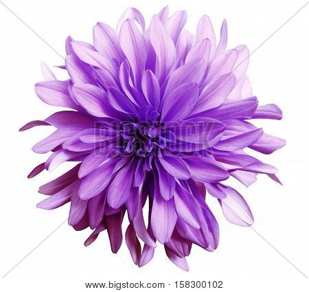 pink flower on a white background isolated with clipping path. Closeup. big shaggy flower. Dahlia.