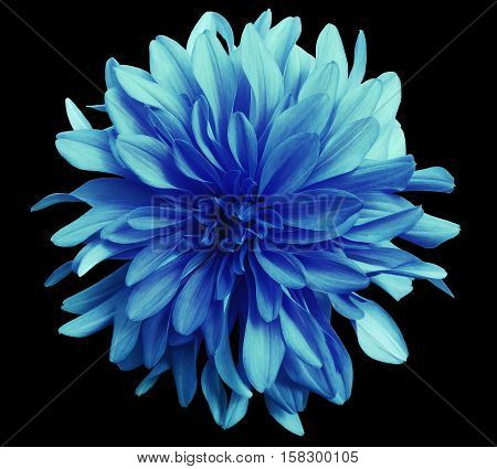 blue-turquoise flower on a black background isolated with clipping path. Closeup. big shaggy flower. Dahlia.