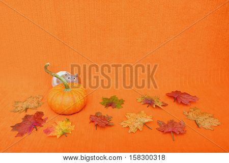 Halloween or Thanksgiving theme with a hamster peeking from behind a mini pumpkin. The background is an orange blanket.