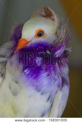 A honing pigeon with beautiful purple and white feathers.