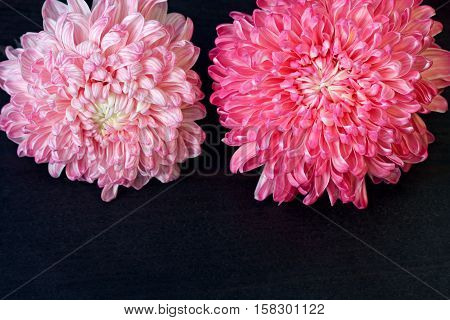 Closeup photo of bright beautiful pink red and white aster flowers on dark wooden table background