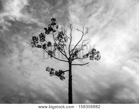 Tall trees in the evening , Background black and white