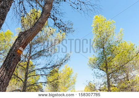 Low angle view of sky through pine trees with yellow and white hiking track blaze painted on tree.