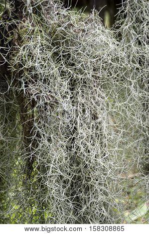 close up Tillandsia usneoides in nature garden