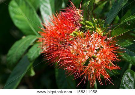 Thai Powder puff a pretty flower in thailand