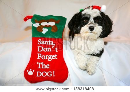 A beautiful Havanese aka Javanese dog wears a Red Santa Claus Hat for the Christmas Holidays. On a white background with room for your text. Christmas dog. Christmas Puppy. Christmas present.