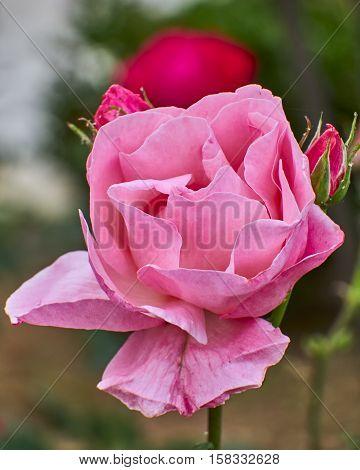 pink rose flower closeup in the garden