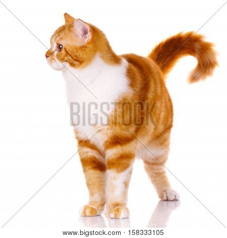 Scottish straight cat standing on a white background and looks to the side, not looking at the camera