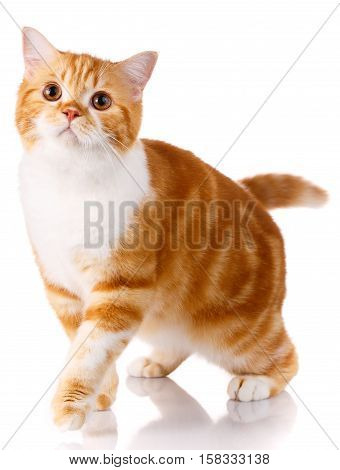 funny Scottish straight cat standing on a white background