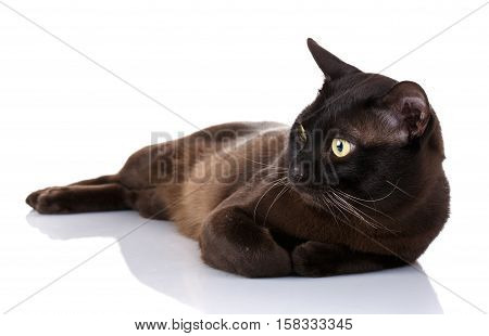 black Burmese cat with yellow eyes lying on a white background, portrait, close up , studio photo, not looking at the camera