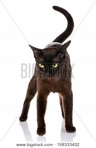 black cat burmese standing on a white background with tail held high