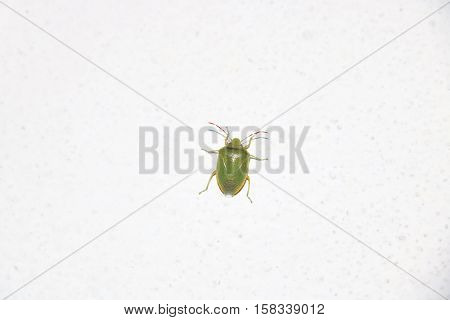 Green soldier bug is a stink bug belonging to the family Pentatomidae available in high-resolution and several sizes to fit the needs of your project