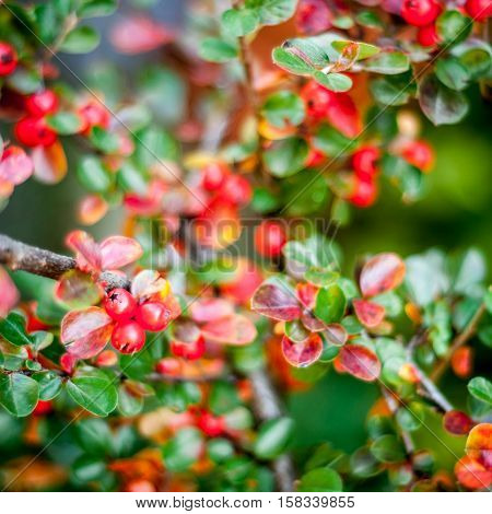 Red berries on branches. Colorful nature detail background.