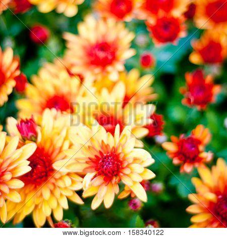 Colorful autumnal chrysanthemum background. Orange flowers closeup.