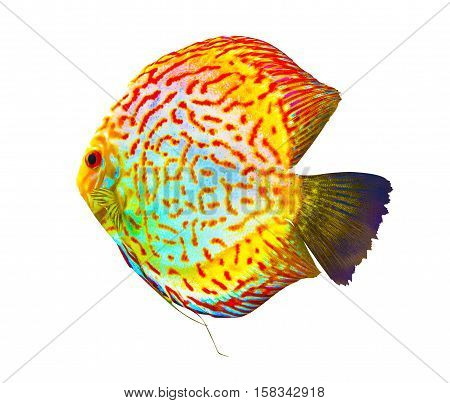 Discus. Discus for aquarium saltwater fish. Discus isolated