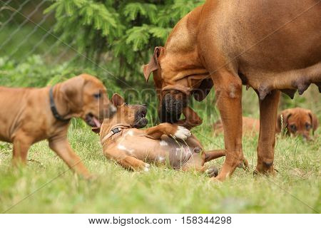 Rhodesian Ridgeback With Puppies In The Garden