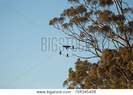 View of Great Cormorant birds high up in branches of a Eucalypt tree at Lake Crescent Tasmania