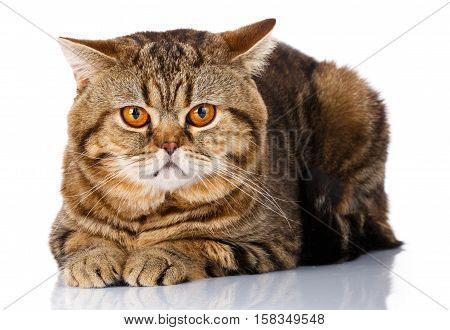 Closeup Cute Scottish Straight Male Cat Face Lying with paw on Isolated white Background, Front view, Curious Looking in Camera