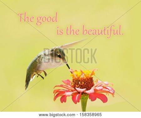 The good is the beautiful - an ancient quote by Plato; with an image of a Ruby-throated Hummingbird feeding on a Zinnia flower