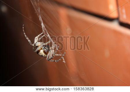 Harvestman spider on the broken brick wall