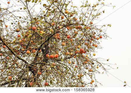 Autumn Apples On Tree