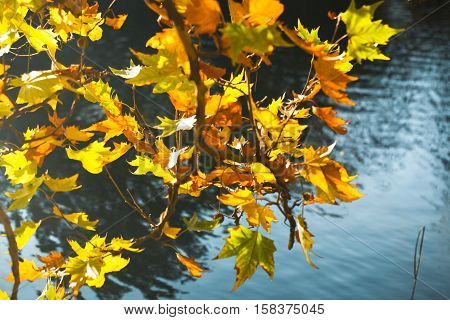 Yellow Autumn Plane Tree Leaves on the Branches near the Pond