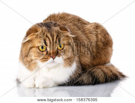 Adorable redhair Scottish Fold cat lying isolated on white background and look in camera