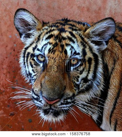 The sadness in the eyes of a young tiger. Indo-Chinese tigers, Tiger Temple, Thailand