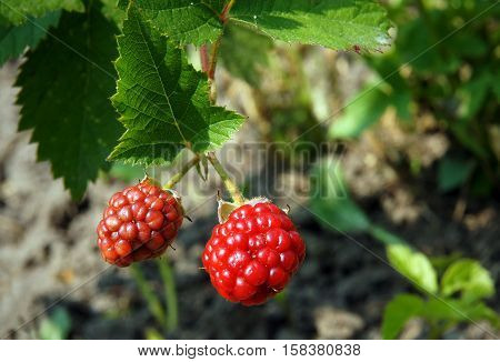 Unripe fruits and dewberry in the garden