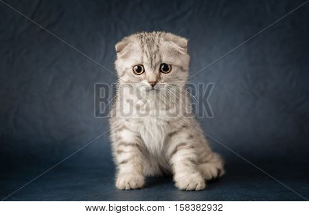 Portrait of cat scottish fold on dark  blue background