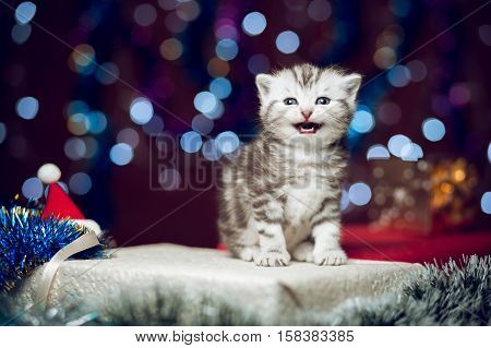 Mewing cute scottish grey cat sitting on a gift box and looking at the camera with bokeh background of Christmas lights, New Year concept, copy space at the left