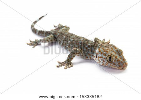 Brown house gecko on a white background.