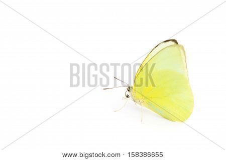 Butterfly one yellow color on white background