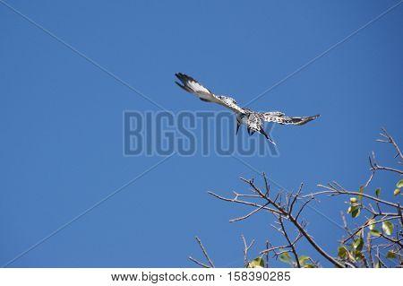 Pied kingfisher flying over Okavango Delta in Botswana