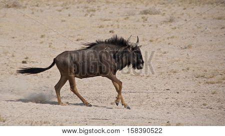 Blue wildebeest charging in Etosha National Park, Namibia