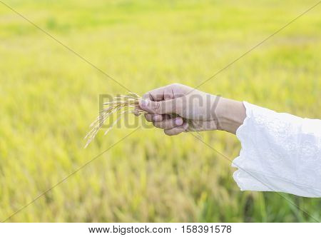 Close up of women hand with paddy on paddy field background
