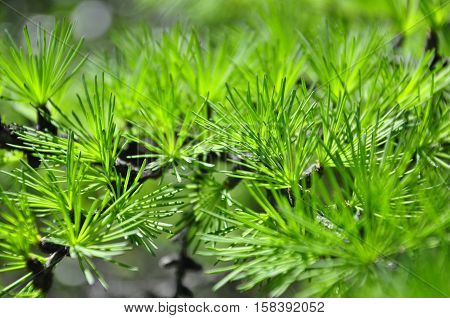 Macrocosm. Larch. Green freshness. Summer forest branch