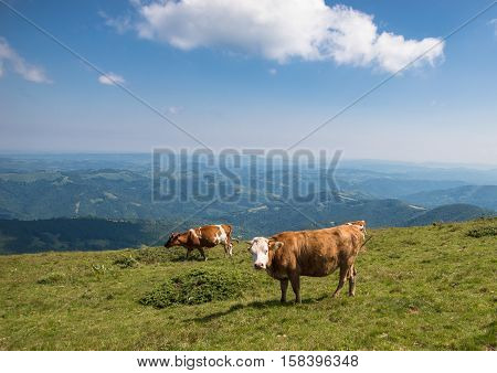 Domesticated animals and cattle and sheep over green fields