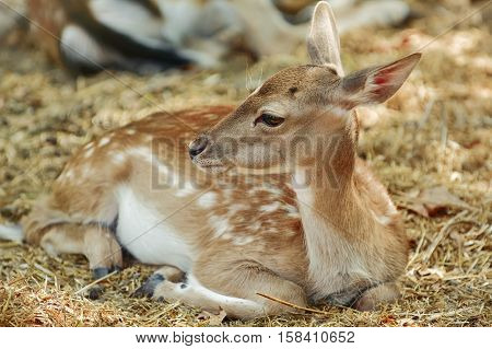 Portrait Of A Young Deer