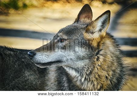 Close up Portrait of Grey Wolf (Canis Lupus)