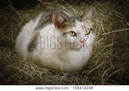 Image of Outbred Cat Resting in the Hay