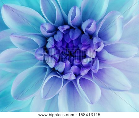 iridescent turqoise dahlia flower blooms. Macro. blue center. Closeup. beautiful dahlia. for design. Nature.